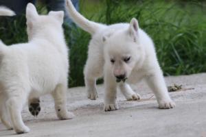 White-Swiss-Shepherd-Puppies-BTWWL-May-2019-0070
