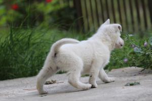 White-Swiss-Shepherd-Puppies-BTWWL-May-2019-0071