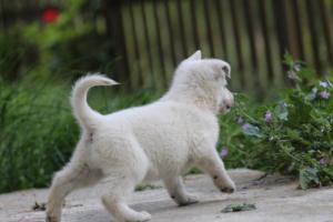 White-Swiss-Shepherd-Puppies-BTWWL-May-2019-0072