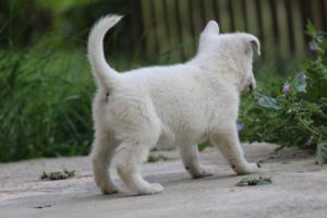 White-Swiss-Shepherd-Puppies-BTWWL-May-2019-0074