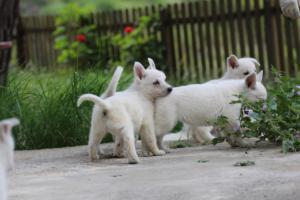 White-Swiss-Shepherd-Puppies-BTWWL-May-2019-0075