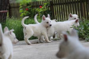 White-Swiss-Shepherd-Puppies-BTWWL-May-2019-0076