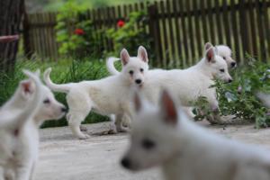 White-Swiss-Shepherd-Puppies-BTWWL-May-2019-0077