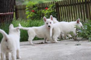 White-Swiss-Shepherd-Puppies-BTWWL-May-2019-0078