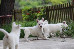 White-Swiss-Shepherd-Puppies-BTWWL-May-2019-0079
