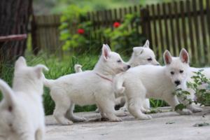 White-Swiss-Shepherd-Puppies-BTWWL-May-2019-0080