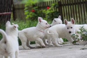 White-Swiss-Shepherd-Puppies-BTWWL-May-2019-0081