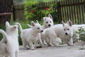 White-Swiss-Shepherd-Puppies-BTWWL-May-2019-0082