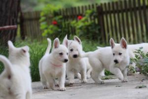 White-Swiss-Shepherd-Puppies-BTWWL-May-2019-0083