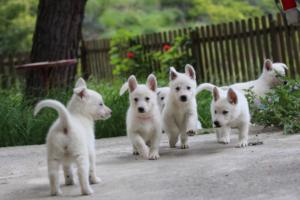 White-Swiss-Shepherd-Puppies-BTWWL-May-2019-0084