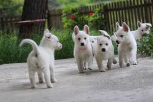 White-Swiss-Shepherd-Puppies-BTWWL-May-2019-0085