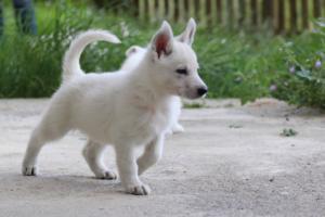 White-Swiss-Shepherd-Puppies-BTWWL-May-2019-0087