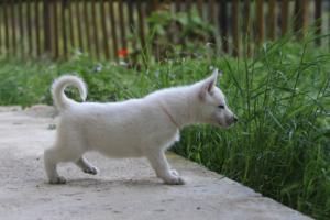 White-Swiss-Shepherd-Puppies-BTWWL-May-2019-0088