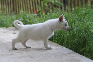 White-Swiss-Shepherd-Puppies-BTWWL-May-2019-0090