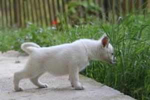 White-Swiss-Shepherd-Puppies-BTWWL-May-2019-0092