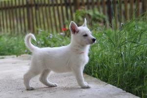 White-Swiss-Shepherd-Puppies-BTWWL-May-2019-0093
