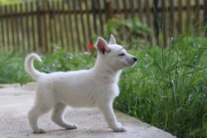 White-Swiss-Shepherd-Puppies-BTWWL-May-2019-0094