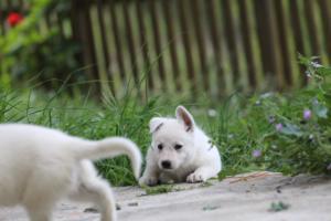 White-Swiss-Shepherd-Puppies-BTWWL-May-2019-0095