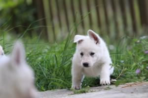 White-Swiss-Shepherd-Puppies-BTWWL-May-2019-0096