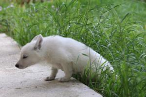 White-Swiss-Shepherd-Puppies-BTWWL-May-2019-0097
