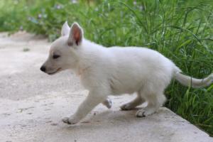 White-Swiss-Shepherd-Puppies-BTWWL-May-2019-0098