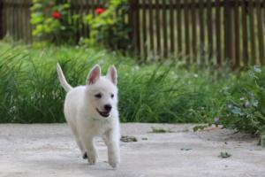 White-Swiss-Shepherd-Puppies-BTWWL-May-2019-0099
