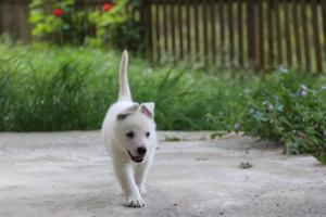 White-Swiss-Shepherd-Puppies-BTWWL-May-2019-0100