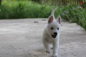 White-Swiss-Shepherd-Puppies-BTWWL-May-2019-0101