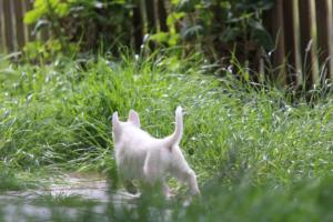 White-Swiss-Shepherd-Puppies-BTWWL-May-2019-0102
