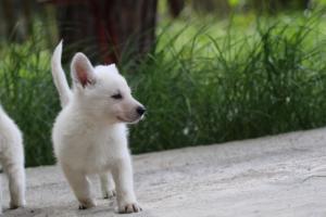 White-Swiss-Shepherd-Puppies-BTWWL-May-2019-0103