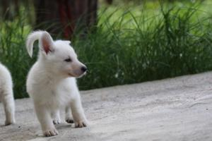 White-Swiss-Shepherd-Puppies-BTWWL-May-2019-0104