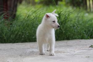 White-Swiss-Shepherd-Puppies-BTWWL-May-2019-0106