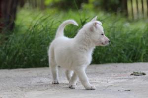 White-Swiss-Shepherd-Puppies-BTWWL-May-2019-0107