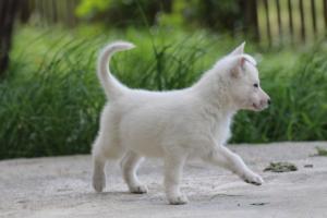 White-Swiss-Shepherd-Puppies-BTWWL-May-2019-0108