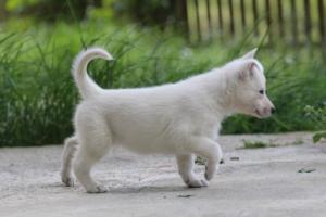 White-Swiss-Shepherd-Puppies-BTWWL-May-2019-0109