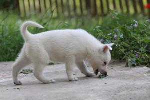 White-Swiss-Shepherd-Puppies-BTWWL-May-2019-0110