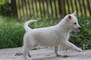 White-Swiss-Shepherd-Puppies-BTWWL-May-2019-0111