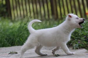 White-Swiss-Shepherd-Puppies-BTWWL-May-2019-0112