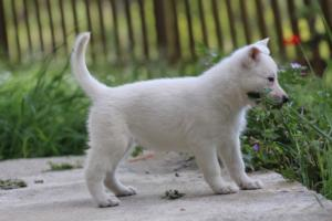 White-Swiss-Shepherd-Puppies-BTWWL-May-2019-0113