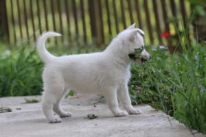 White-Swiss-Shepherd-Puppies-BTWWL-May-2019-0114