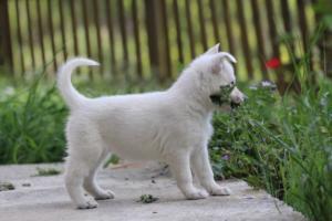 White-Swiss-Shepherd-Puppies-BTWWL-May-2019-0115