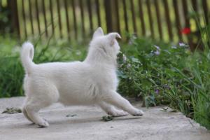 White-Swiss-Shepherd-Puppies-BTWWL-May-2019-0116