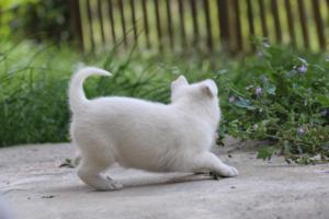 White-Swiss-Shepherd-Puppies-BTWWL-May-2019-0118