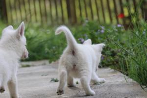 White-Swiss-Shepherd-Puppies-BTWWL-May-2019-0122
