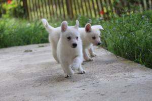 White-Swiss-Shepherd-Puppies-BTWWL-May-2019-0124