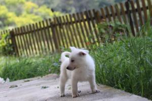 White-Swiss-Shepherd-Puppies-BTWWL-May-2019-0125