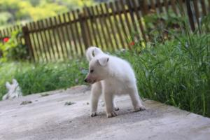 White-Swiss-Shepherd-Puppies-BTWWL-May-2019-0126