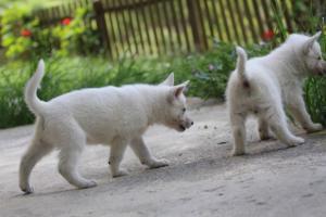 White-Swiss-Shepherd-Puppies-BTWWL-May-2019-0127