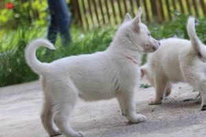 White-Swiss-Shepherd-Puppies-BTWWL-May-2019-0128