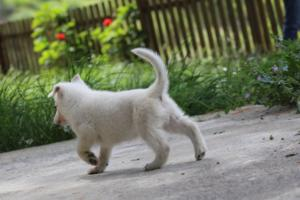 White-Swiss-Shepherd-Puppies-BTWWL-May-2019-0129